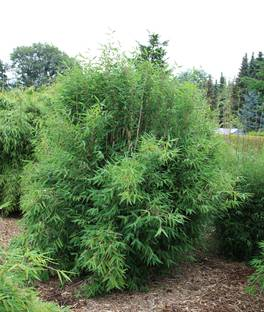Bambus:Fargesia Red Zebra