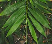 Bambusa oldhamii