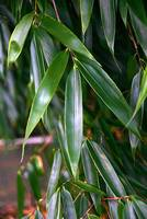 Bambus:Fargesia robusta 'Big Leaves'