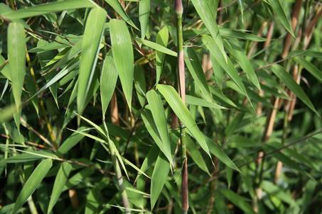 Bambus:Chinese Bamboo Dreams: Fargesia Spez. 'Evergreen' ®