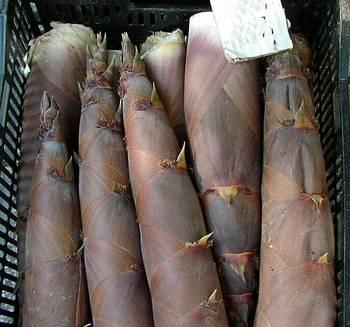Bambussprossen Phyllostachys nigra 'Henonis'