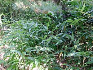 Bambus:Pleioblastus humilis
