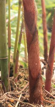 Bambus:Fargesia robusta 'Red Sheats'