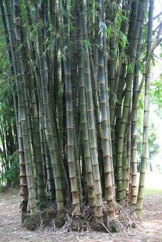 Bambus:Bamboo in Indonesia