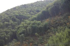 Bambus:Phyllostachys edulis: Ernte in China