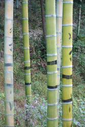 Bambus:Phyllostachys edulis, Synonym Pubescens, Moso, Heterocycla: Ernte in China