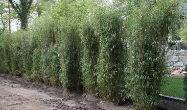 Bambus:Chinese Bamboo Dreams: Fargesia Spez. 'Dragon King' ®