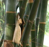 bambus lexikon dendrocalamus giganteus riesenbambus. Black Bedroom Furniture Sets. Home Design Ideas