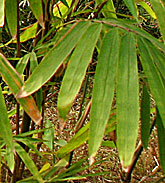 Guadua angustifolia in Süd-China