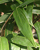 Indocalamus hirtivaginatus