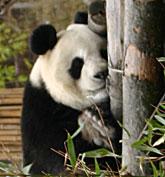 bambus lexikon gro er panda giant panda. Black Bedroom Furniture Sets. Home Design Ideas