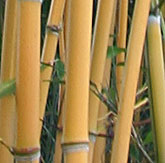 Bambus Lexikon Bambus Fur Einsteiger