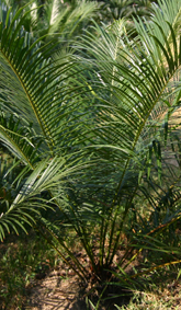 Cycas ferruginea