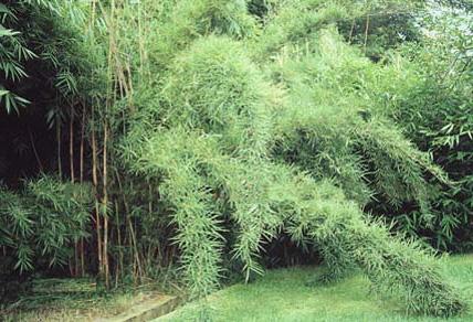 Bambus Lexikon Yushania