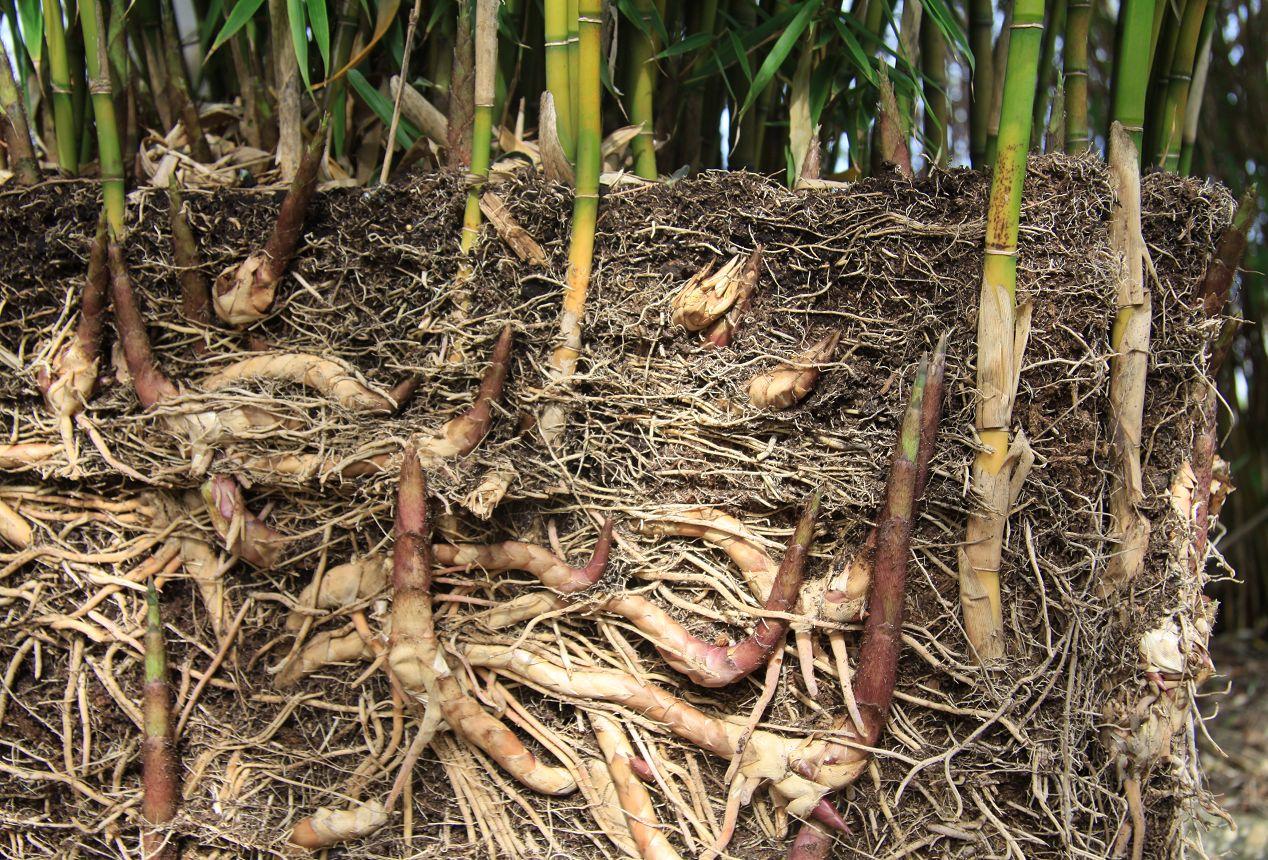 pourquoi pas du bambou geant  K-IMG_5652